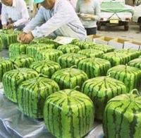 squarewatermelon2.jpg